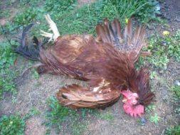rooster1.jpg